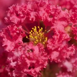 FloweringTree_4