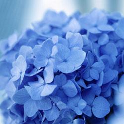 endless-summer-hydrangeas-3
